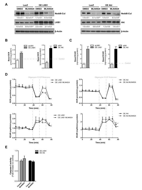LKB1 and Akt stabilization play an important role on neddylation-induced metabolic disruptions in liver cancer.