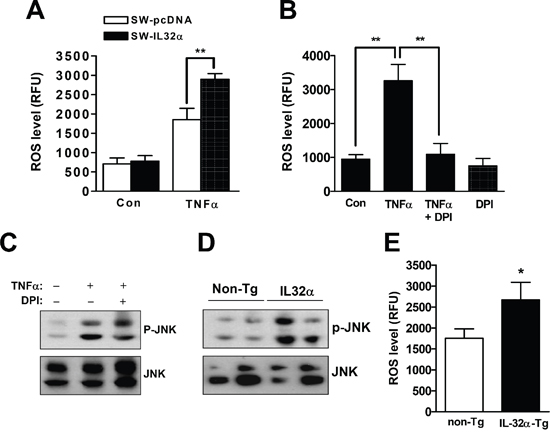 Effects of IL-32α on ROS release and JNK activation in cancer tissues and colon cancer cells.