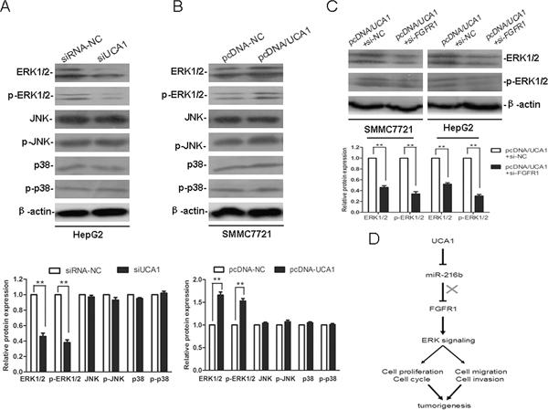 UCA1 promotes HCC malignant progression through ERK signaling pathway.