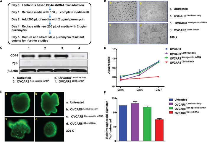 CD44 shRNA transduction suppressed sphere formation of OVCAR8 in three-dimensional culture.