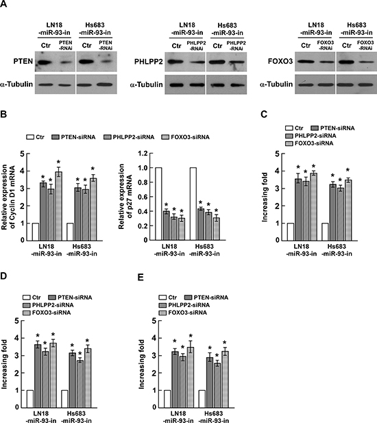 Suppression of PHLPP2, FOXO3, and PTEN by miR-93 is essential for glioma cell proliferation.