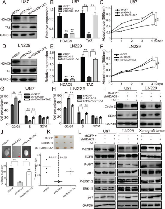 Overexpression of TAZ in HDAC9-knockdown cells abrogates the effects induced by HDAC9 silencing.