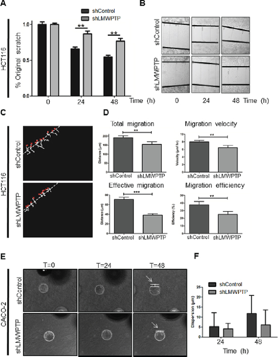 Modulation of LMWPTP results in impaired migration and invasion in colorectal cancer cells.