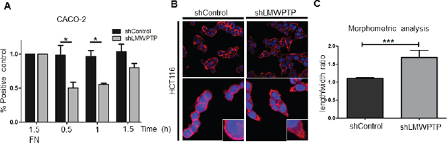 LMWPTP influences cell adhesion and cell morphology.