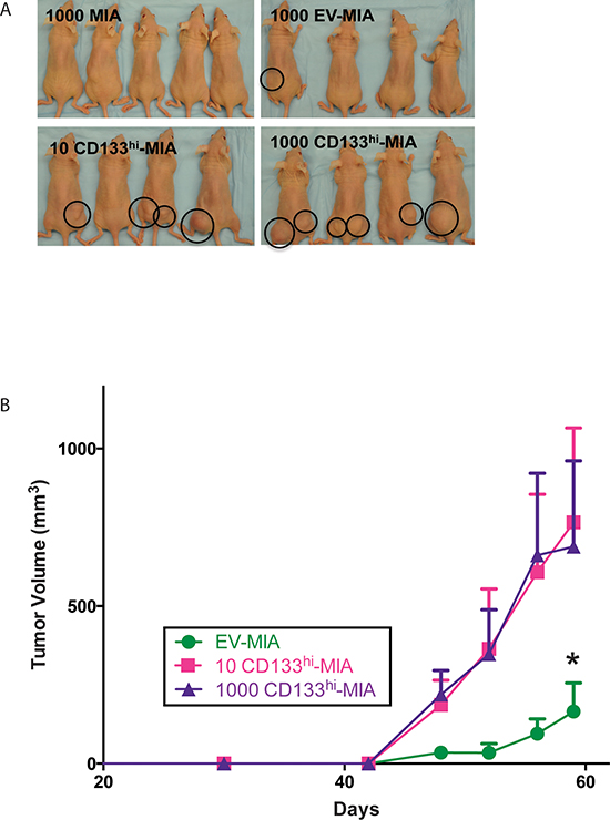 CD133 expression increases tumor formation.