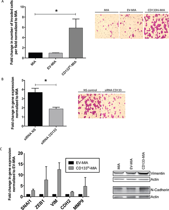 CD133 expression induces EMT and increases invasiveness in vitro.