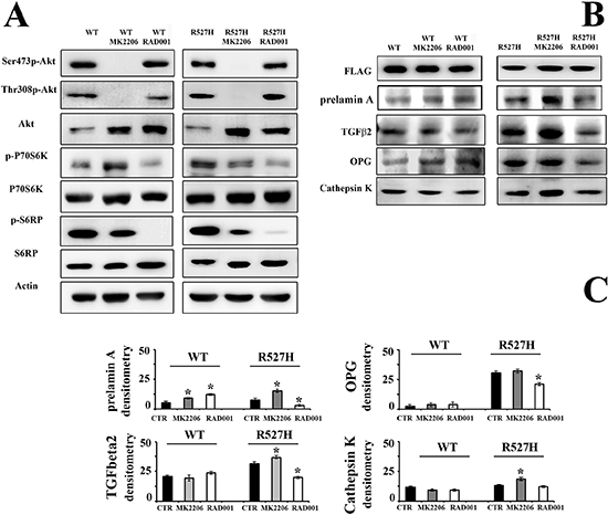 RAD001 treatment of R527H LMNA rescues the Akt/mTOR signaling pathway, and OPG levels and reduces cathepsin K amount.