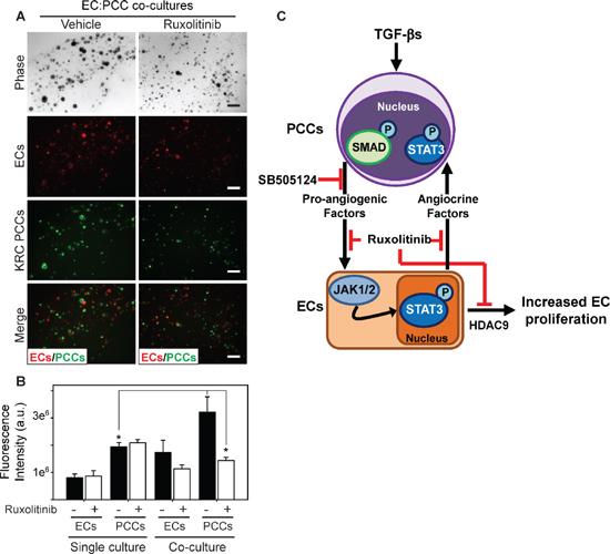 Ruxolitinib suppresses mitogenic cross-talk between endothelial cells and PCCs.