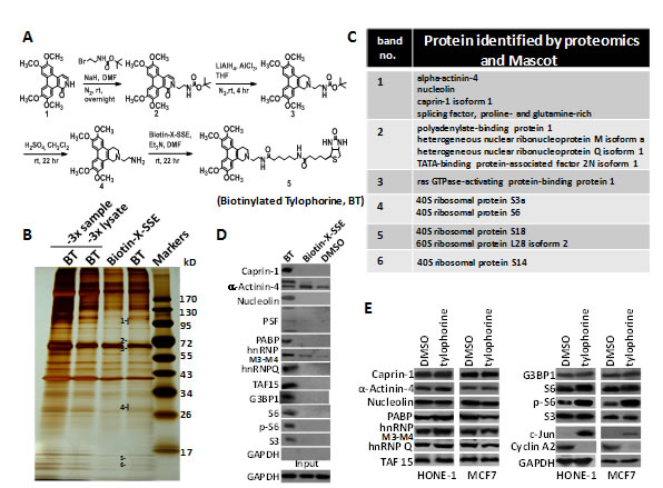 The application of biotinylated tylophorine to probe its direct interacting cellular targets in carcinoma cells.