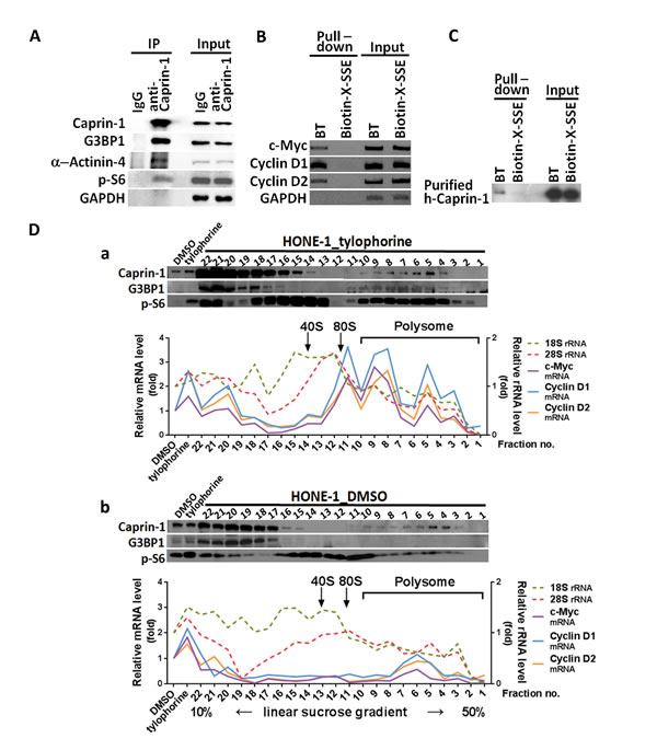 The association of caprin-1 and G3BP1 with c-Myc and cyclins D1/D2 mRNAs through tylophorine.