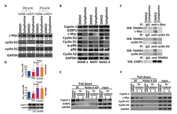 The effect of tylophorine through caprin-1 on c-Myc, cyclin D1, and cyclin D2 expression in carcinoma cells.