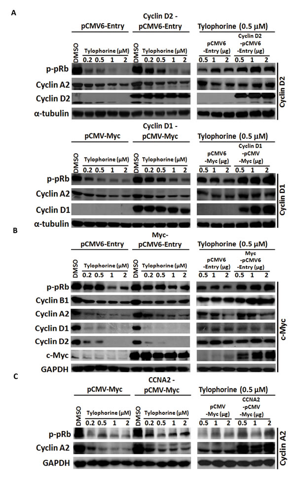 Gain-of-function experiments for tylophorine-induced decreased protein expression of cyclin D1, cyclin D2, and c-Myc.