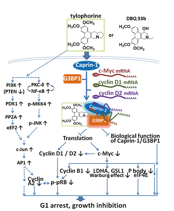 A summary scheme for tylophorine-targeted anti-cancer pathways.