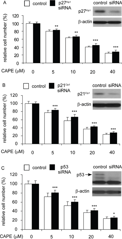 Over-expression of p27Kip1, p21Cip1, and p53 blocked the suppressive effect of CAPE on proliferation of LNCaP 104-R1 cells.