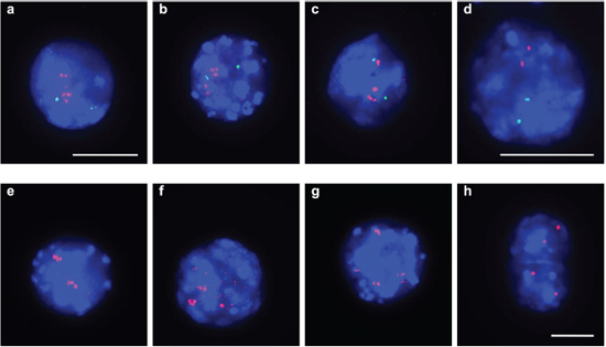 Gene amplifications on mouse chromosomes 11 and 9 on SFME cells.
