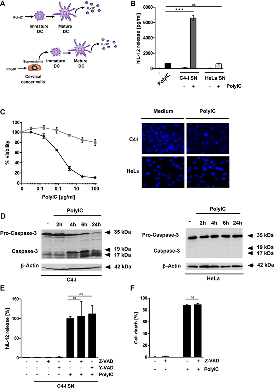 Supernatant from PolyIC-stimulated C4-I cells enhances the IL-12 production of DC.