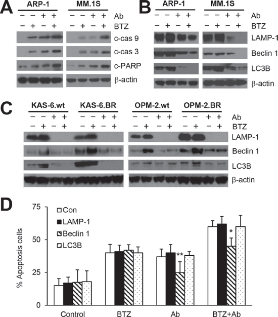 Anti-β2M mAbs and BTZ combination treatment reduces BTZ-induced autophagy activation.