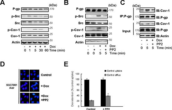 c-Src dependent Cav-1 phosphorylation promoted the translocation of P-gp into caveolae.