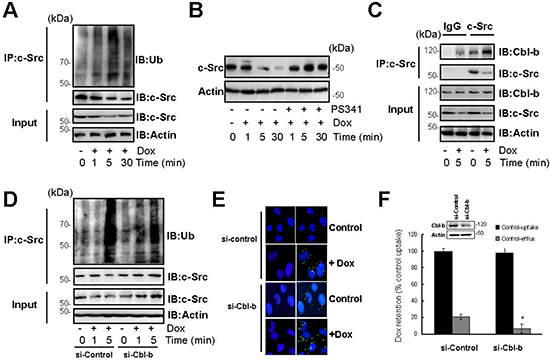 Cbl-b inhibited the translocation of P-gp into caveolae by inducing the ubiquitination and degradation of c-Src.