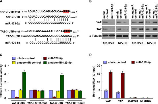 MiR-129-5p directly suppresses YAP and TAZ.