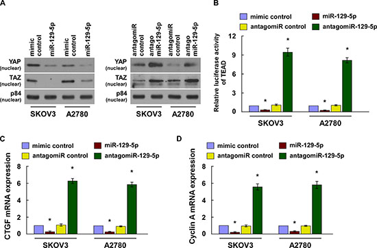 MiR-129-5p inactivates the Hippo signaling pathway.