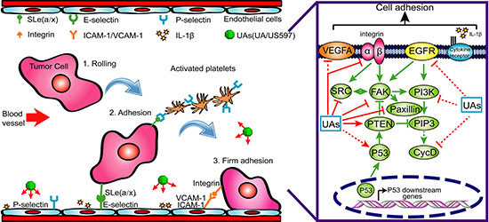A possible mechanism underlying the inhibitory effect of UA/US597 on cancer metastasis.