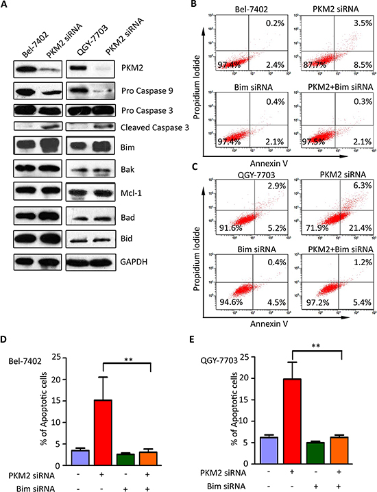 Bim is essential for PKM2–depletion-induced apoptosis.