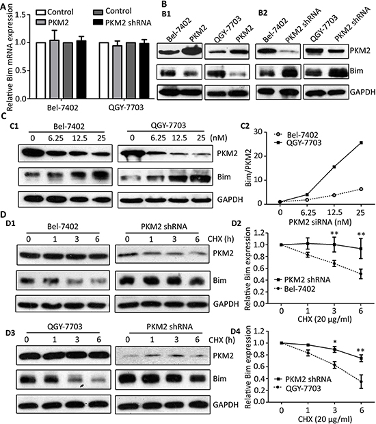 PKM2 knockdown attenuates the degradation of Bim.