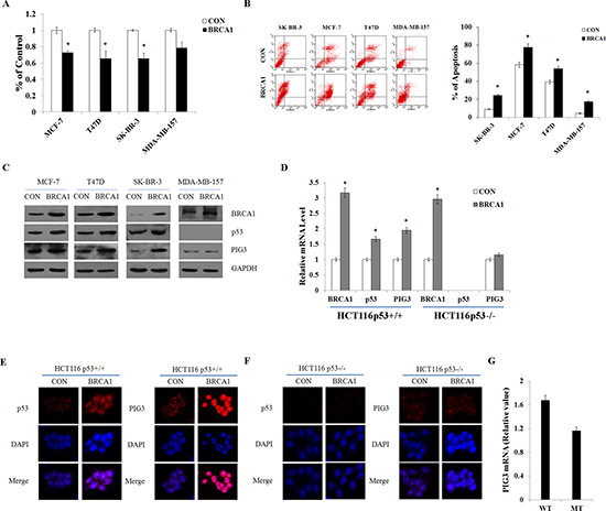 BRCA1 positively regulates PIG3 expression in a p53-dependent manner.