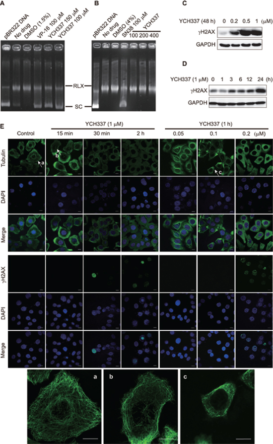 YCH337 inhibits Top2, which is weaker than it suppresses microtubule in cells.
