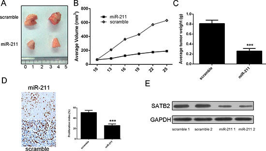 miR-211 repressed the growth of HepG2-engrafted tumors.