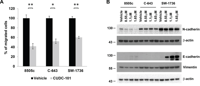 CUDC-101 inhibits ATC cell migration and regulates EMT marker expression.
