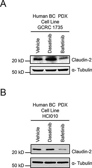 Dasatinib treatment increases, while Bafetinib treatment lowers, Claudin-2 levels in breast cancer patient derived xenograft explants.