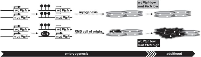 Mechanism of RMS formation in heterozygous Ptch mice.