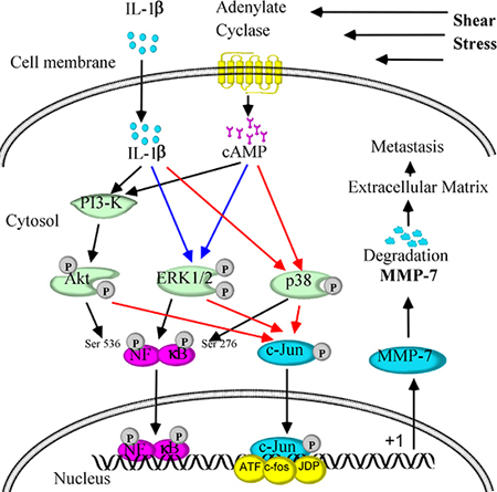 Signaling cascades involved in MMP-7 regulation in response to fluid shear stress, which in turn mediates chondrosarcoma metastasis.