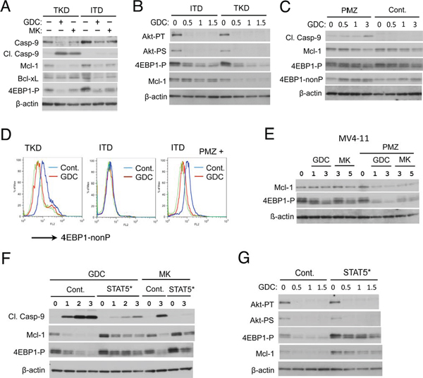 FLT3-ITD confers resistance to the PI3K/Akt pathway inhibitors through STAT5 activation by sustaining 4EBP1 phosphorylation and Mcl-1 expression to prevent Caspase-9 activation.
