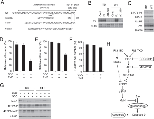 Pimozide and GDC-0941 synergistically enhance downregulation of 4EBP1 phosphorylation and Mcl-1 expression to reduce viability of primary AML cells expressing FLT3-ITD.