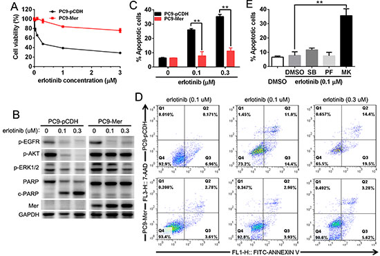 Mer overexpression induces the resistance of NSCLC cells to erlotinib.