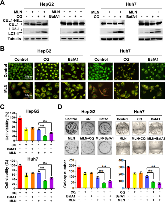 Blockage of autophagy enhances MLN4924-induced suppression of liver-cancer cell proliferation.