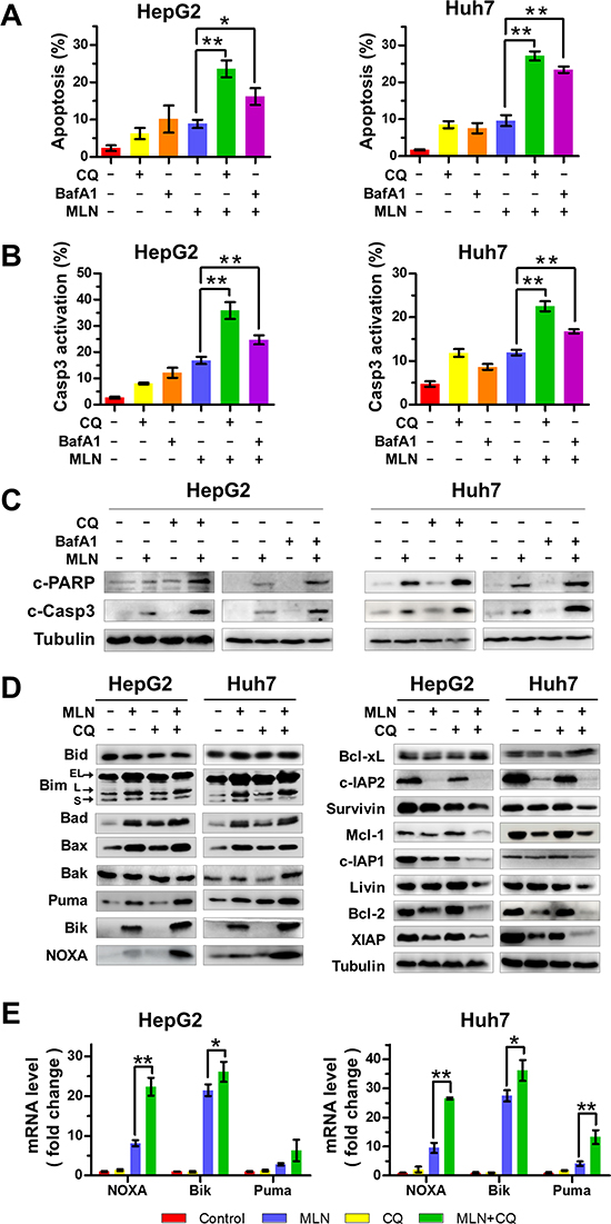 Blockage of the autophagic response increases MLN4924-induced apoptosis of liver-cancer cells.