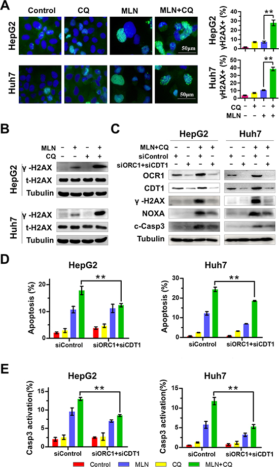 Enhanced DNA Damage contributes to MLN4924+CQ-induced NOXA transactivation and apoptotic induction of liver-cancer cells.