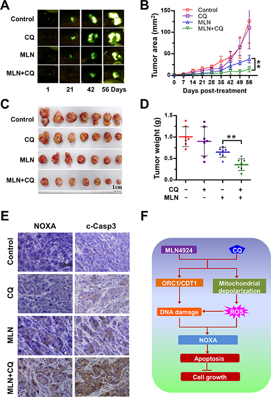 Blockage of autophagy enhances the antitumor efficacy of MLN4924 in vivo.