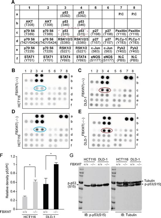 Human phospho-kinase-profiler-array (HPKPA) revealed induction of phospho-p53(Ser15) in FBXW7-null human CRC cells [FBXW7(−/−) vs. FBXW7(+/+)].