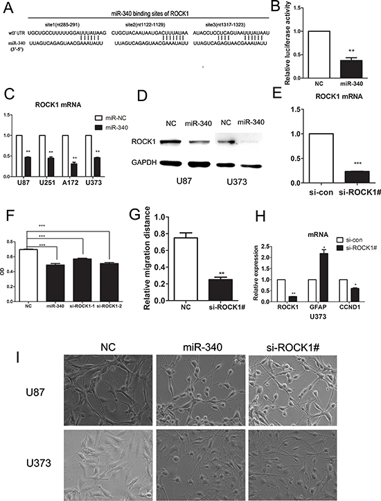 miR-340 targetes ROCK1 by binding its 3′UTR, sh-RNA-mediated knock-down of ROCK1 inhibites glioma cells growth and migration.