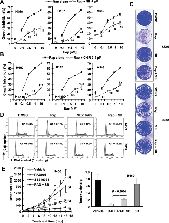 The presence of the GSK3 inhibitor, SB216763 or CHIR99021, antagonizes rapamycin's growth inhibitory effects evaluated in a 3-day monolayer culture assay (A and B), in an 8-day colony formation assay (C), by cell cycle analysis (D) and in a nude mice xenograph model (E).