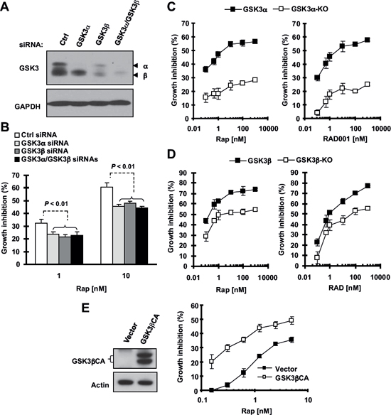 Knockdown (A and B) or knockout of GSK3 (C and D) and enforced expression of constitutively activated form of GSK3β (E) modulate cell responses to rapalogs.