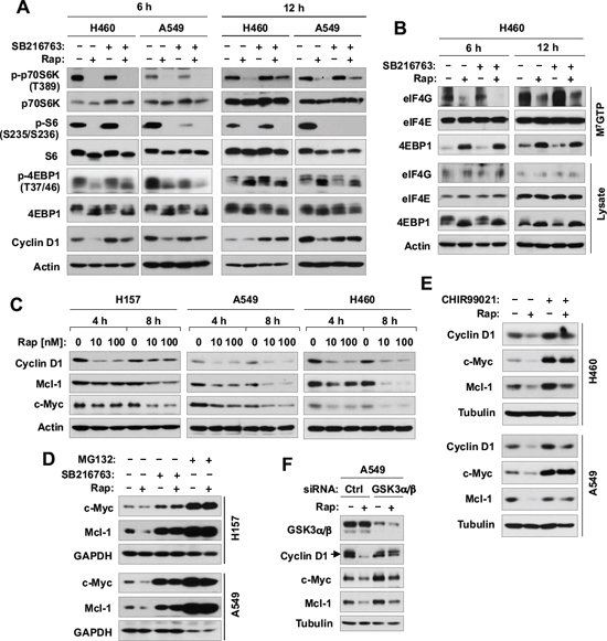 Inhibition of GSK3 with SB216763 or siRNA rescues rapamycin-induced reduction of cyclin D1, c-Myc and Mcl-1 (A, C-F) without blocking rapamycin-mediated suppressive effects on mTORC1 signaling (A) and on cap binding (B).