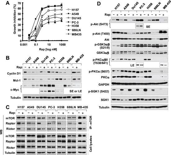 Rapamycin inhibits the growth of various cancer cell lines (A) accompanied with decreasing the levels of cyclin D1, c-Myc and Mcl-1 (B), disrupting the assembly of both mTORC1 and mTORC2 (C) and differential effects on the phosohorylation of several AGC kinase proteins (D).