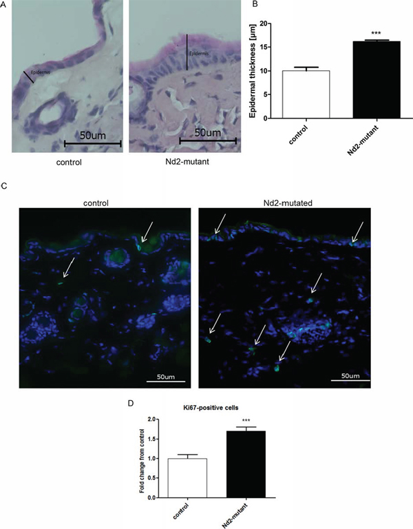 Measurement of epidermal thickness and Ki67 staining of the skin of Nd2-mutant mice.