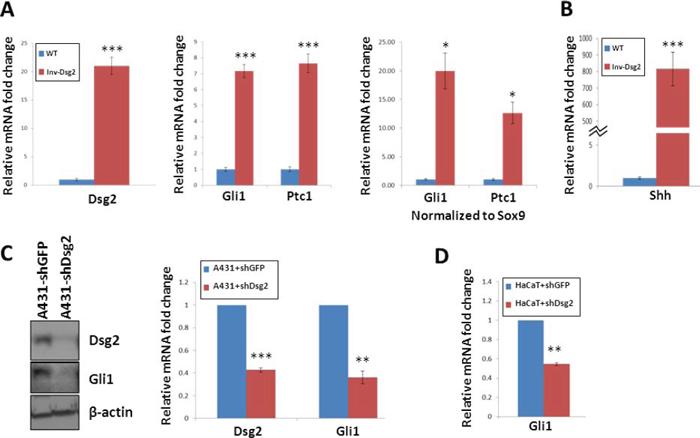 Dsg2 enhances Gli1 expression.